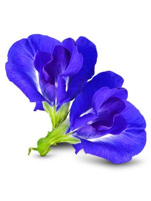 Photo of blue ternatea or butterfly pea flower
