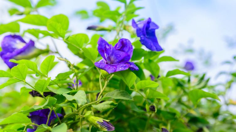 Butterfly Pea Flower growing naturally
