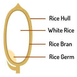 Sketch of the component parts of a grain of rice