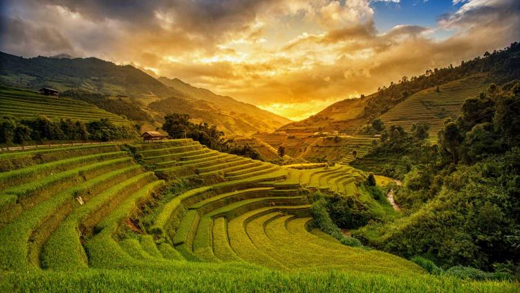 Photo of rice grown on stepped slopes in Vietnam