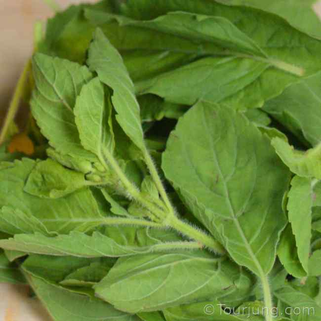 photo of Thai holy basil Leaves for identification purposes