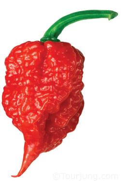 Photo of teh insanely hot Carolina Reaper
