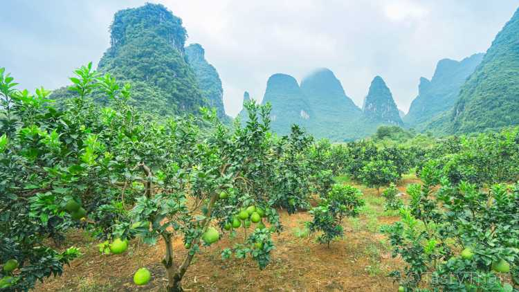 Pomelo fruit growing on pomelo trees in a beautiful location